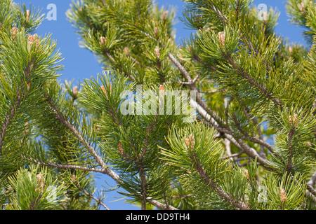 mountain pine, dwarf mountain pine, scrub mountain pine, Bergkiefer, Berg-Kiefer, Kiefer, Latsche, Föhre, Pinus - Stock Photo