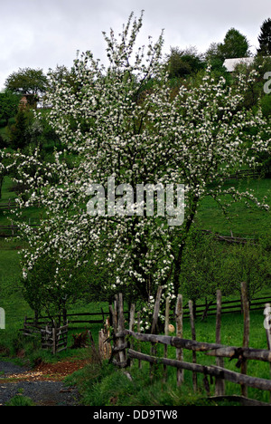 Blossom apple tree in the village yard enclosed by a wooden fence next to the local dirt road. - Stock Photo