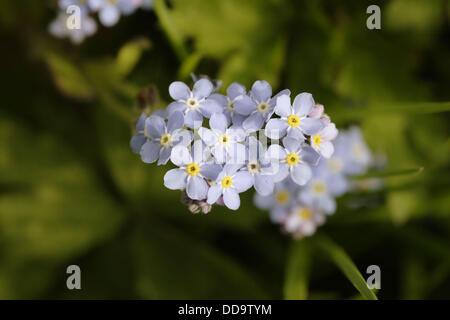 Wood Forget Me Not flowers close up (Mysotis sylvatica) , England , UK - Stock Photo