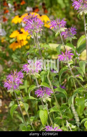 Wild bergamot, bee balm, Wilde Bergamotte, Wilde Indianernessel, Wilde Monarde, Monarda fistulosa - Stock Photo
