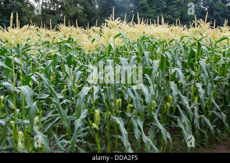Cornfield in Cuyahoga Valley National Park in Ohio in the United States - Stock Photo