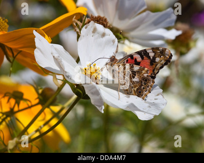 A painted lady butterfly, Latin name Cynthia cardui feeding on a white cosmos flower in late summer - Stock Photo