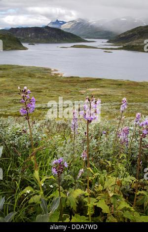 Alpine Blue Sow Thistle Cicerbita alpina and Monkshood Aconitum napellus  at 1400m overlooking Lake Bygdin , - Stock Photo