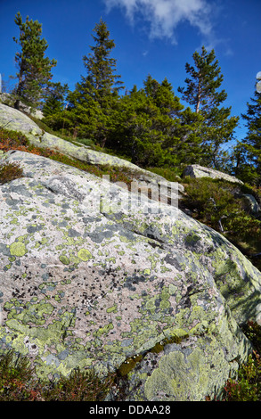 Lime green Map lichen Rhizocarpon geographicum on granite rocks in the mountains of central Norway - Stock Photo