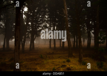 Laurel forest in fog, El Hierro, Canary Islands, Spain, Europe Stock Photo