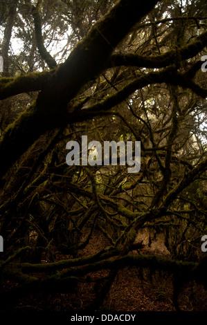 Laurel forest in fog, El Hierro, Canary Islands, Spain, Europe - Stock Photo