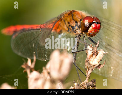 red dragonfly watches me taking his photograph
