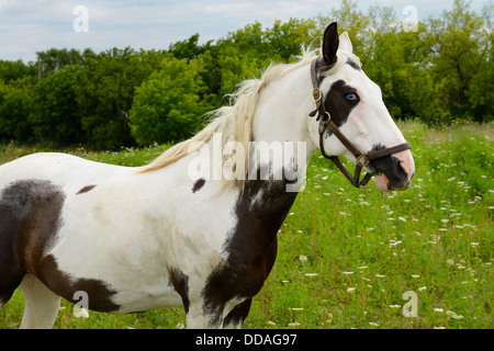 A Paint horse with blue eyes standing in a country field Ontario Canada - Stock Photo