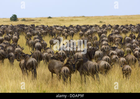 Herds of wildebeest arriving in Masai Mara National Reserve, Kenya from Tanzania as part of the annual Great Migration - Stock Photo