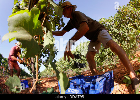 Grapes harvest in the Spanish island of Mallorca - Stock Photo