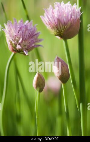 Chives Happy Family. Allium schoenoprasum. - Stock Photo