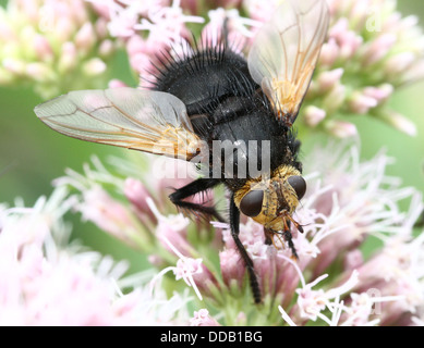 Giant tachinid fly (Tachina grossa) feeding on a hemp-agrimony flower - Stock Photo