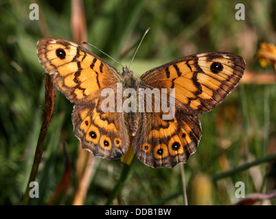 Wall Brown or Wall Butterfly (Lasiommata megera) posing with wings opened - Stock Photo