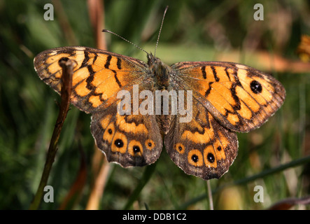 Wall Brown or Wall Butterfly (Lasiommata megera) with wings opened - Stock Photo
