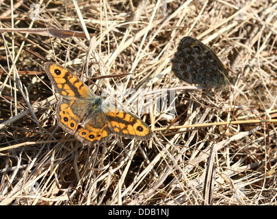 Male and female Wall Brown or Wall Butterfly (Lasiommata megera) together in the grass - Stock Photo