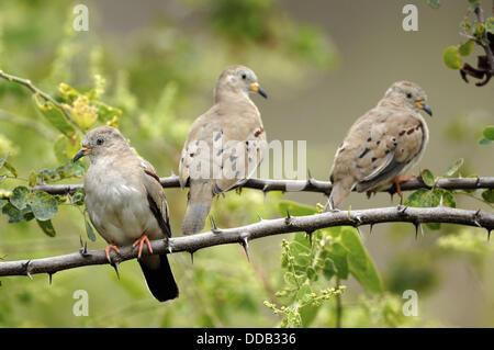 Croaking ground doves (Columbina cruziana) Chaparri Ecological Reserve, Peru, South America - Stock Photo