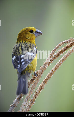Male golden - bellied grosbeak (Pheuctinus chrysogaster) Chaparri Ecological Reserve, Peru, South America - Stock Photo