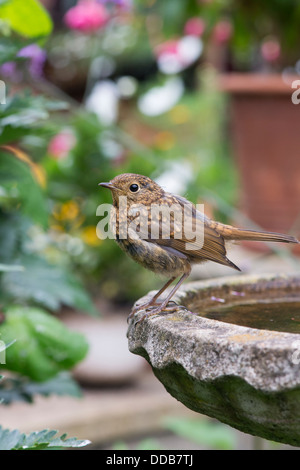 Fledged juvenile Robin on a bird bath - Stock Photo