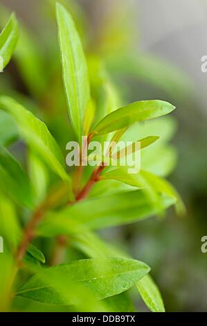 Young plant of Pomegranate  Punica granatum L  Punicaceae, Pune, Maharashtra, India - Stock Photo