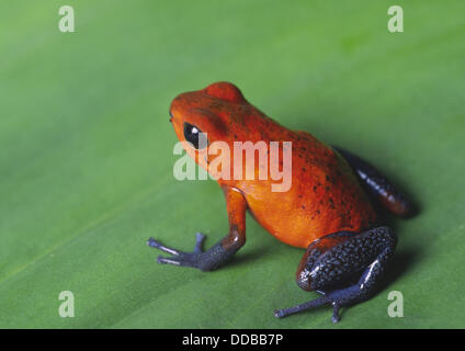 A strawberry poison dart frog (Dendrobates pumilio) sitting on a leaf in the rainforest of costa rica - Stock Photo