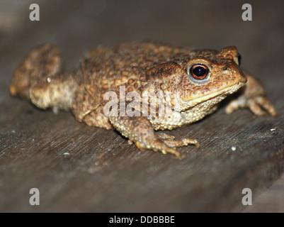 Common Toad (Bufo Bufo) - Stock Photo
