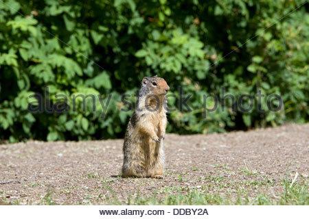 Columbian Ground Squirrel; Citellus columbianus - Stock Photo