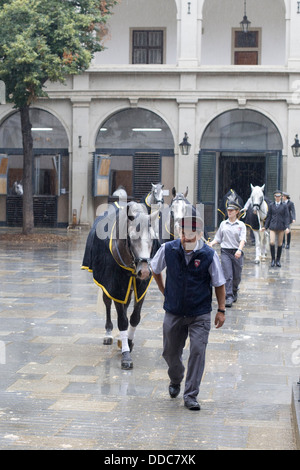 Lipizzaner horses crossing the yard to begin  training at the Spanish Riding School in Vienna - Stock Photo