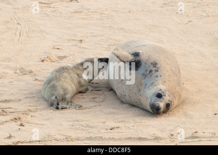 Grey seal [Halichoerus grypus] Pup suckling from mother. December. Norfolk. Between Horsey Gap and Winterton Dunes. - Stock Photo
