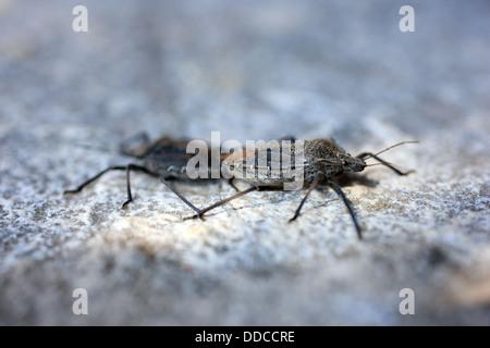 Mating stink bugs (Pentatomidae) - Stock Photo