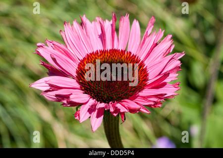 Echinacea purpurea 'Rubinglow' cornflower