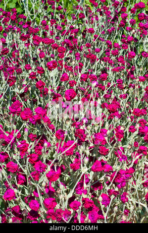 Rose campion, Lychnis coronaria Gardeners 'World 'Blych' - Stock Photo