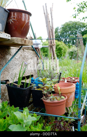 Young plants being grown on in pots on a metal shelf. - Stock Photo