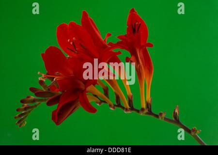 Crocosmia 'Lucifer' flower - Stock Photo