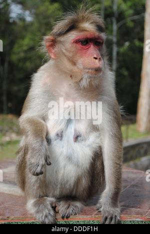Monkey in Periyar National Park, Kerala, India - Stock Photo