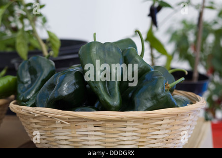 Capsicum annuum Green Peppers in a Wicker Basket - Stock Photo