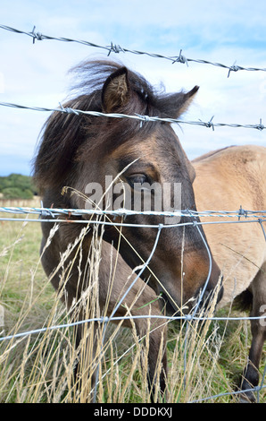 Shetland Pony in a field behind barbed wire England UK - Stock Photo