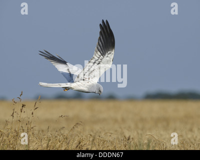 Montagu's Harrier - Circus montagui - Male in flight - Stock Photo