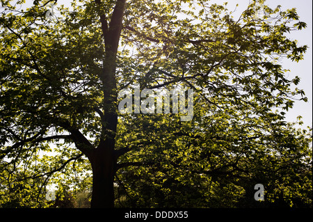 Sun light shines through the leaves and branches of a tree - Stock Photo