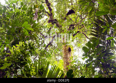 Looking upwards to the canopy of tropical rainforest in the Ecuadorian Amazon - Stock Photo