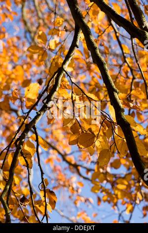 Fagus sylvatica in Autumn. Common Beech tree leaves. - Stock Photo