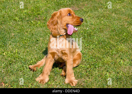 Young red English Cocker Spaniel dog on green grass background - Stock Photo