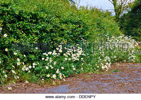 masses of oxeye daisies leucanthemum vulgare yellow and white wildflowers in a hedgerow in the countryside - Stock Photo