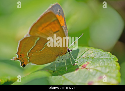 Brown Hairstreak-Thecla betulae (female) Butterfly. Uk - Stock Photo