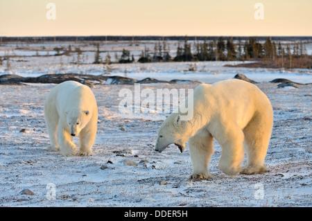 Two polar bears (Ursus maritimus) quarreling and threatening on frozen tundra at sunset, Churchill, Manitoba, Canada. - Stock Photo
