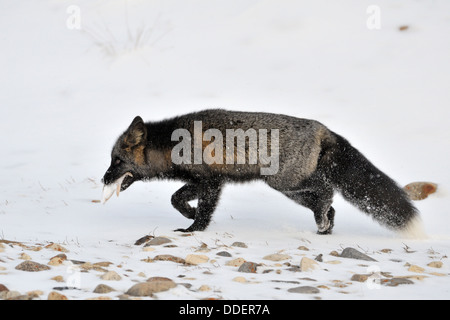 Red fox (Vulpes vulpes) walking in snow with black fur and his caught starfish, Churchill, Manitoba, Canada. - Stock Photo