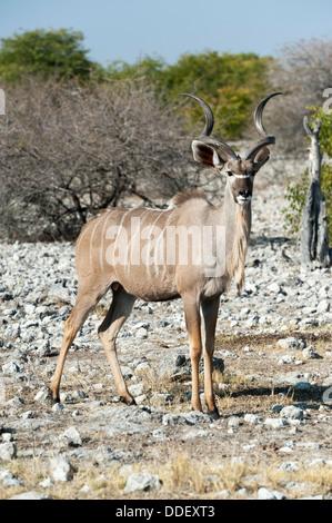 Greater Kudu (Tragelaphus strepsiceros) male, standing on rocky ground, Etosha Nationalpark, Namibia - Stock Photo