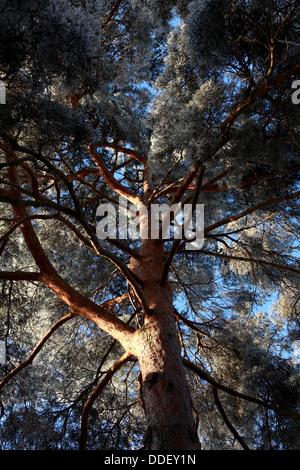 Hoar frost on a Scots Pine tree in winter sunshine - Stock Photo