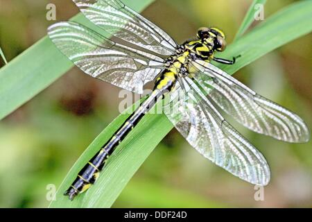 Emerging Common Clubtail, Gomphus vulgatissimus drying wings  When dragonfly emerges, the wings are tightly furled - Stock Photo