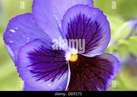Purple pansy with dark purple center on green background  The pansy has a bright yellow center and dark stripes - Stock Photo