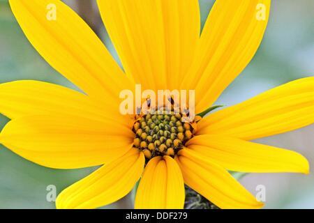 Jerusalem Artichoke, Helianthus tuberosus  Single open flower  Full frame  The plant belongs to aster family  Is - Stock Photo